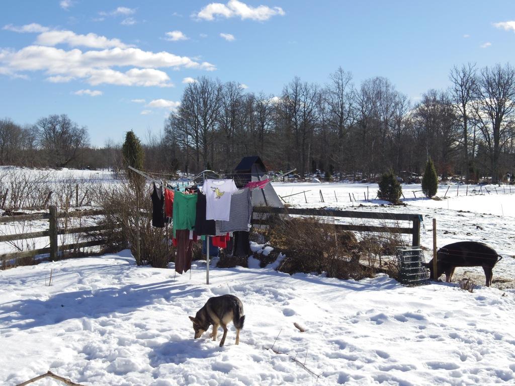 Lapsk vallhund och tvätt