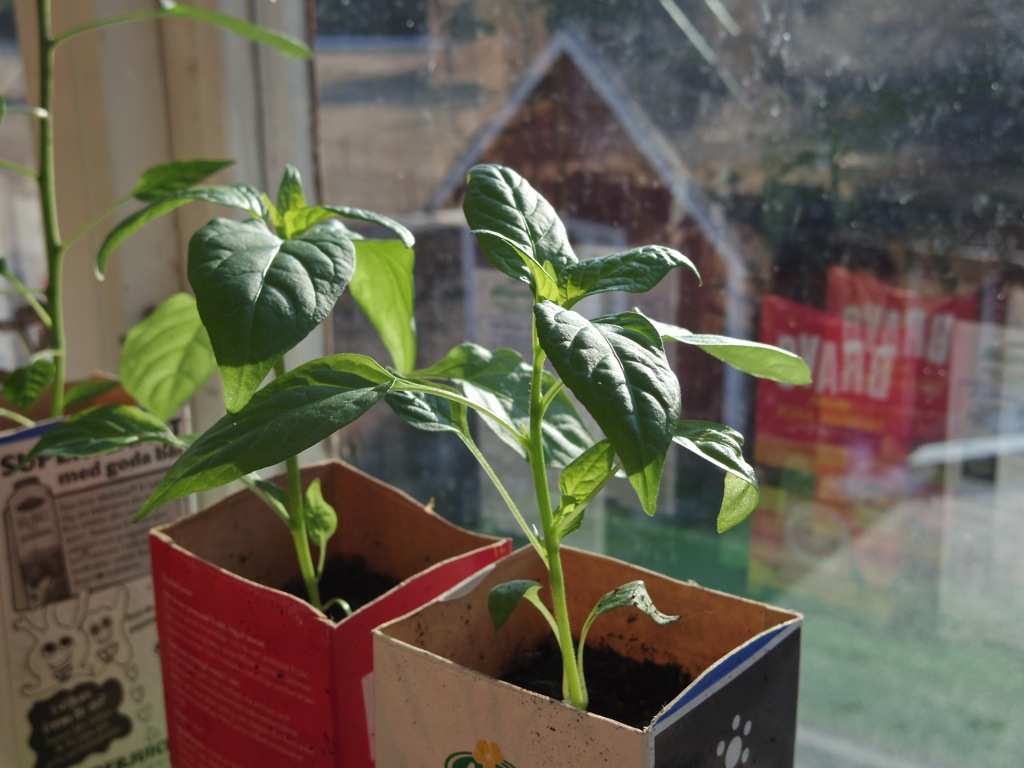 Chiliplantor
