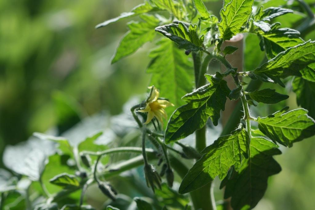 Tomatblomma