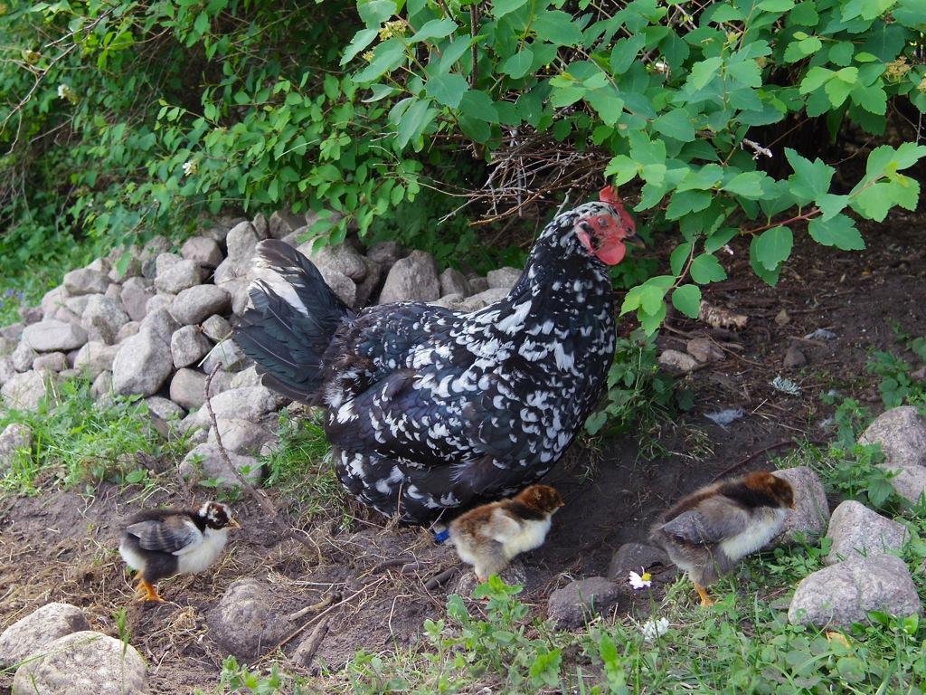 Höna och kycklingarna