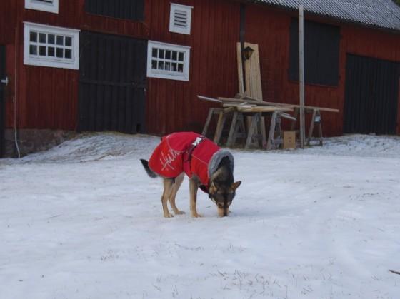 Lapsk vallhund med täcke