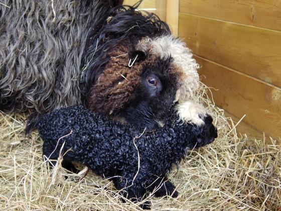Nyfött lamm