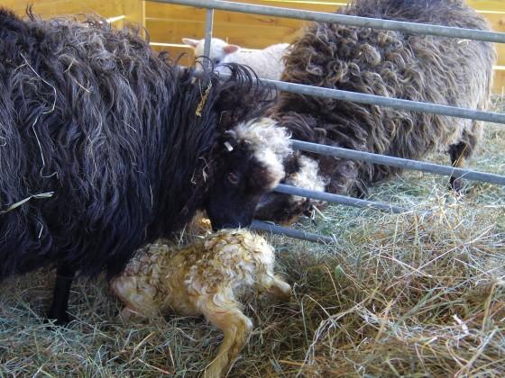 Nyfött lamm letar spene