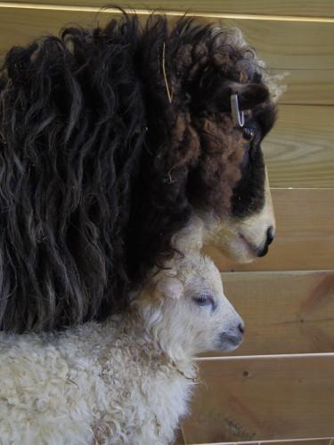 Roslagstacka med lamm