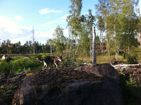 Hund på sten