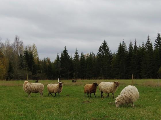 Liten flock får